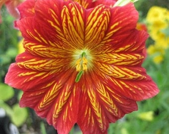 Red Stained Glass Flower Seeds / Salpiglossis / Annual   20+