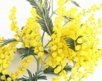 Acacia dealbata (Mimosa/Silver Wattle) - 20 seeds. The most well known Australian Acacia. Adds a welcome splash of colour in late winter.