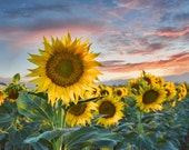 Sunflowers at Sunset - California.sunflower decor.nature print.nature photography.country home decor.floral decor.home decor.yellow