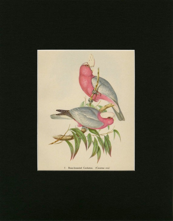 Items Similar To Matted Vintage Tropical Bird Print