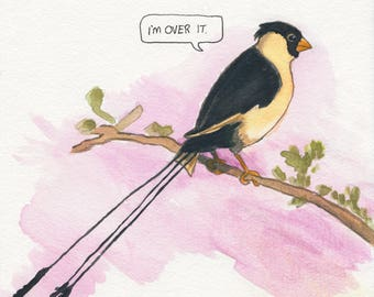 The Shaft-Tailed Whydah