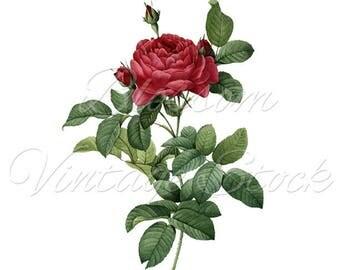 Red Rose Print, Wall Art Decor, Flower Print, Redoute Rose Illustration, Antique Rose - INSTANT DOWNLOAD - 2453