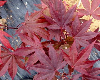 Japanese Red Maple - 1 Plant