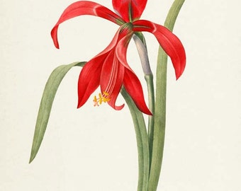 Amaryllis Red Lion Clip Art