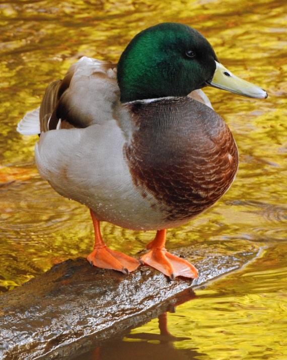 duck on golden water