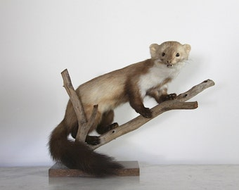 Sweet Vintage Taxidermy Marten, Weasel, Ferret, Cream and Brown Nordic JDL