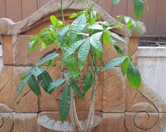 "Guiana Chestnut Braided Money Tree Dollar Plant Pachira Aquatica 10"" Pot"