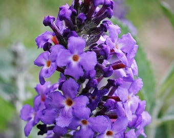 Butterfly Bush Photo