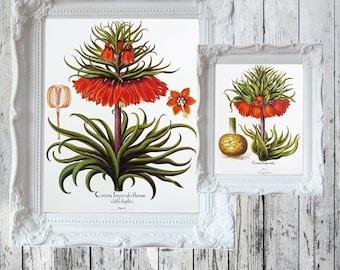 "Crown Imperial Botanical Book Plate/Print Corona Imperialis |  - 14 7/8"" x 11 1/2"" ORIGINAL Book Plate Double Sided Besler Florilegium"