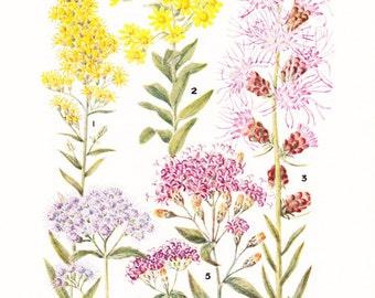 1930s Flower Print - Goldenrod - Vintage Home Decor Botany Art Illustration for Nature Science Woman Great for Framing