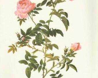 Cugnol's Rose art print vintage antique wall art pink flower art print Victorian art print antique rose art rose print prints 84