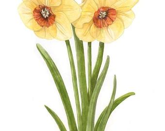 Daffodil 'Narcissus Sabine Hay' Giclee Botanical Watercolour Print
