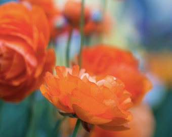 "Discounted 8x10"" ranunculus flower photo print - orange ranunculus botanical art print colorful"