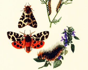 1960 Vintage Garden Tiger Moth Print. Butterfly Illustration. Insect. Caterpillar. Criptic coloration. Entomology. Natural History.