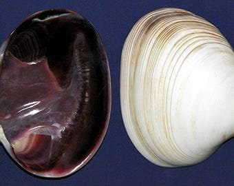 """Polished Quahog Clam EACH Half Shell 4-1/2""""~Pecten,Scallop, Craft Seashell ~  Highly Polished Both Sides. FREE SHIPPING"""