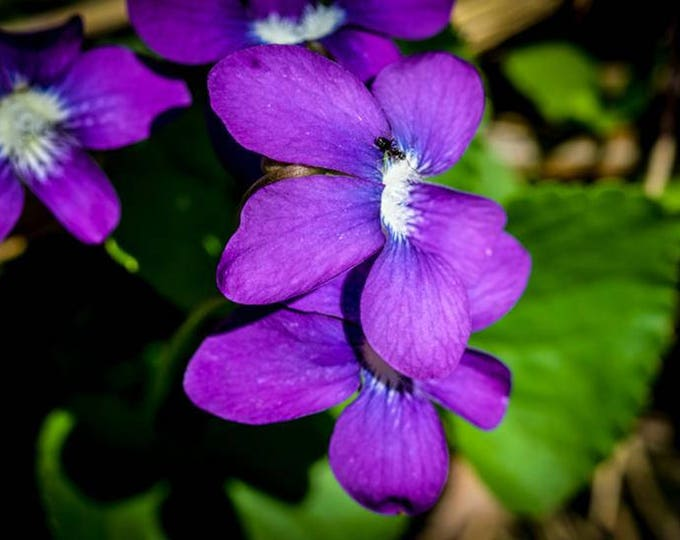 SPRING VIOLETS 3 | modern fine art photography blank note cards custom books interior wall decor affordable pictures –Rick Graves