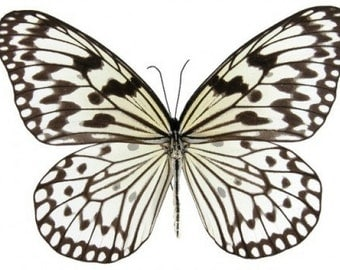 Supplies for your artworks - dried insects - : 5 pieces  Idea leuconoe leuconoe , danaidae ,UNMOUNTED A1 quality
