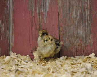 Dark Brahma Chicks photo