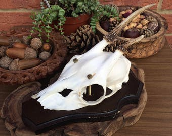 Beautifully Preserved Roe Deer Skull Natural Taxidermy Wall Mount #47