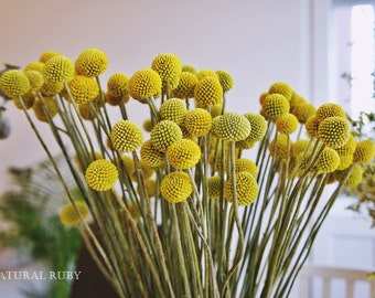 40 stems Craspedia, Billy Balls, Billy Buttons, Yellow Dried decor, modern decor, modern wedding, wedding decor, flower arrangement