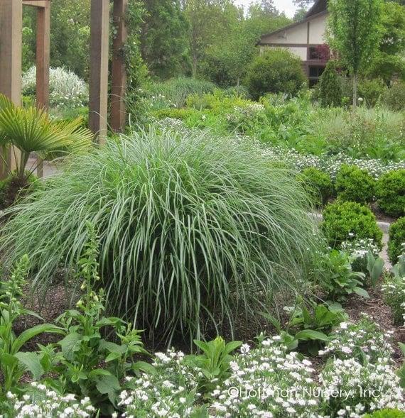 5 dwarf maiden grass five miscanthus sinensis for Maiden grass
