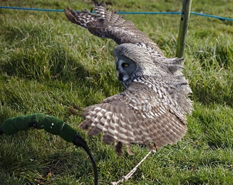 Great Grey Owl. Photo Digital Download. 50cm x 75cm.