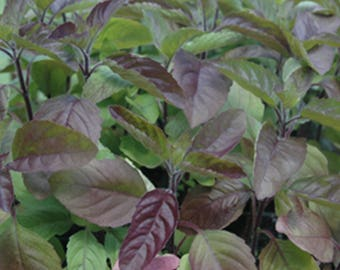 Red Holy Basil Seeds - Krishna Tulsi - Ocimum Sanctum - 150+ seeds!