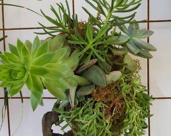 Mixed living succulent arrangement in hanging driftwood display