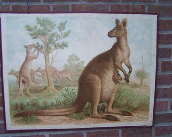 Vintage   Chart  Red Kangaroo School Chart