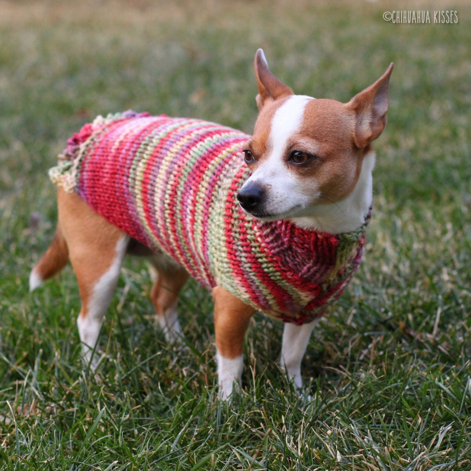 pretty girl collection chihuahua sweater chihuahua. Black Bedroom Furniture Sets. Home Design Ideas