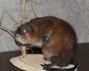 Small Beaver - Taxidermy Mount, Stuffed Animal For Sale - ST3823