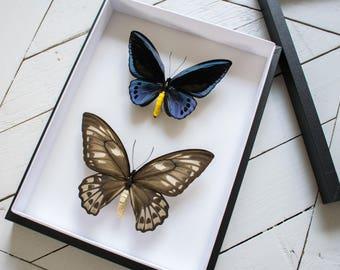 Ornithoptera priamus urvilleanus male & female // VERY RARE // insect museum box //  shadowbox
