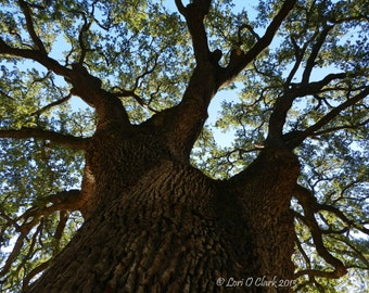 Mighty Oak.  Photograph. Bidwell Park, Chico, California. Canvas Print. Metal Print.