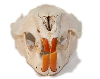 Beaver Skull   Animal Skull   Bone Skull   Beaver Skull
