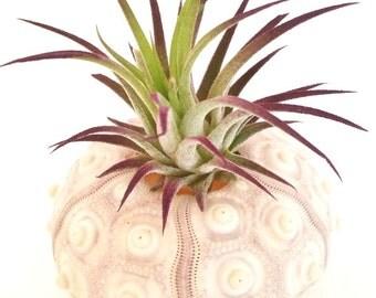Ionantha in Sea Urchin Shell , Air Plant Holder , Handmade , Coastal Decor , Home Decor , Office Decor