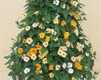 Black Eyed Susan Vine Organic seeds