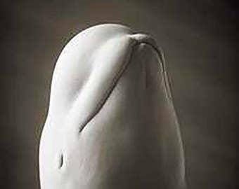 Beluga by Henry Horenstein