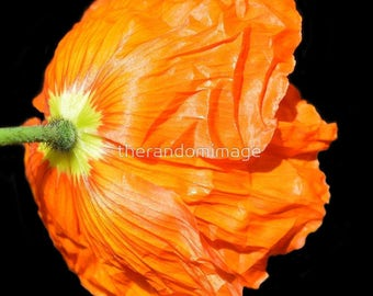 Orange Flowers, Botanical Art Posters, Art Prints, Flower Photography, Wall Art, Fine Art, Photography, Poppies, 'Vitamin C - Poppy'.