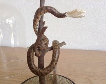 Genuine vintage snakeskin with skull under globe cabinet of curiosities odditie