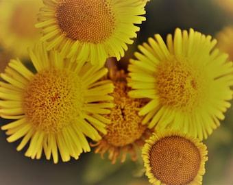Flowers/ Summer Blooms / Daises / Yellow /  Still Life/ Wall Art / Digital Print