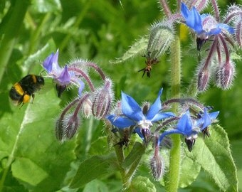 Borage - 20 seeds. Loved by bees!