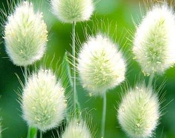 Lagurus ovatus Bunny Tails Ornamental Landscape Grass Plant 50 Seeds #1133