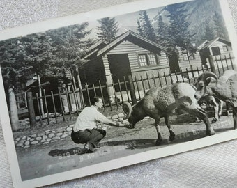 Vintage Jasper Park 1950's Postcard with Big Horn Sheep at Miette Hot Springs