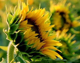 Yellow and Green - Sunflower Photo - Summer Photo - Art Photo - Photography - Colors - Flower Photo - Nature photography