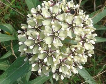 Antelope Horns Milkweed Seeds /Asclepias asperula