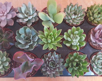 4 inch Succulents **YOU CHOOSE 5**