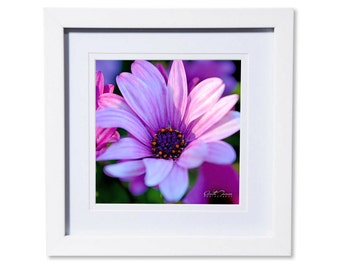 African Daisy Photo Print or Canvas