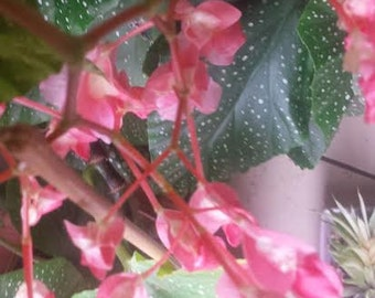 Angel Wing  Begonia  lucerna House Plant 15 cm  All year round Flowrering Plant