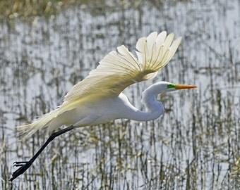 Great White Egret Takes Flight