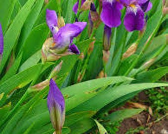 Orris Root essential oil 15% irone Organic Morocco Orris Root CO2 Extract perfume fixative powdery scent violet like